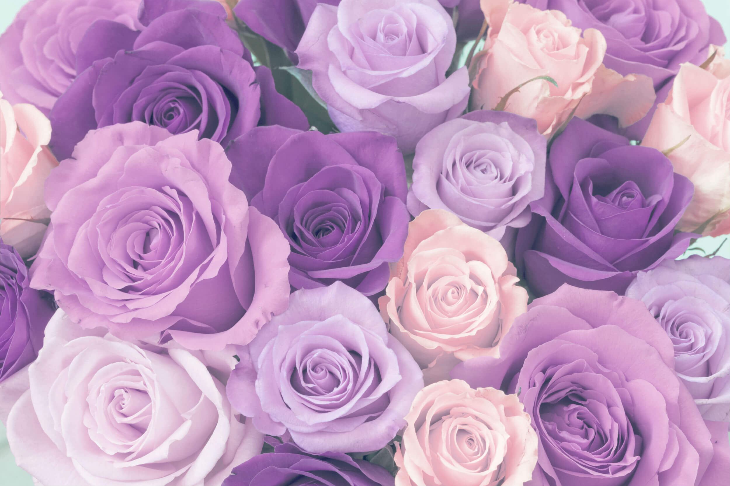 ultimate purple rose meaning guide goldflorist