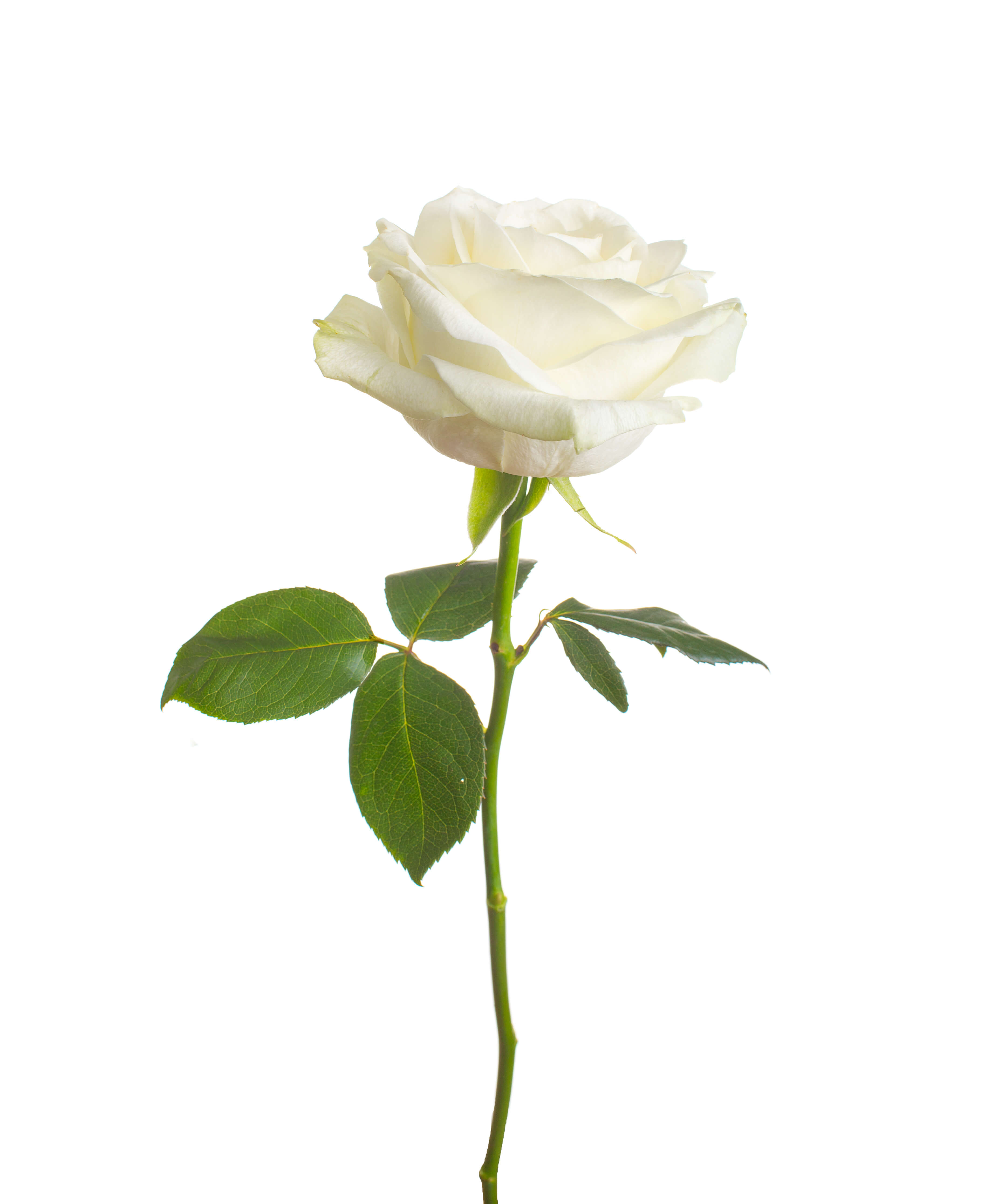 Ultimate White Rose Meaning and Symbolism Guide | GoldFlorist
