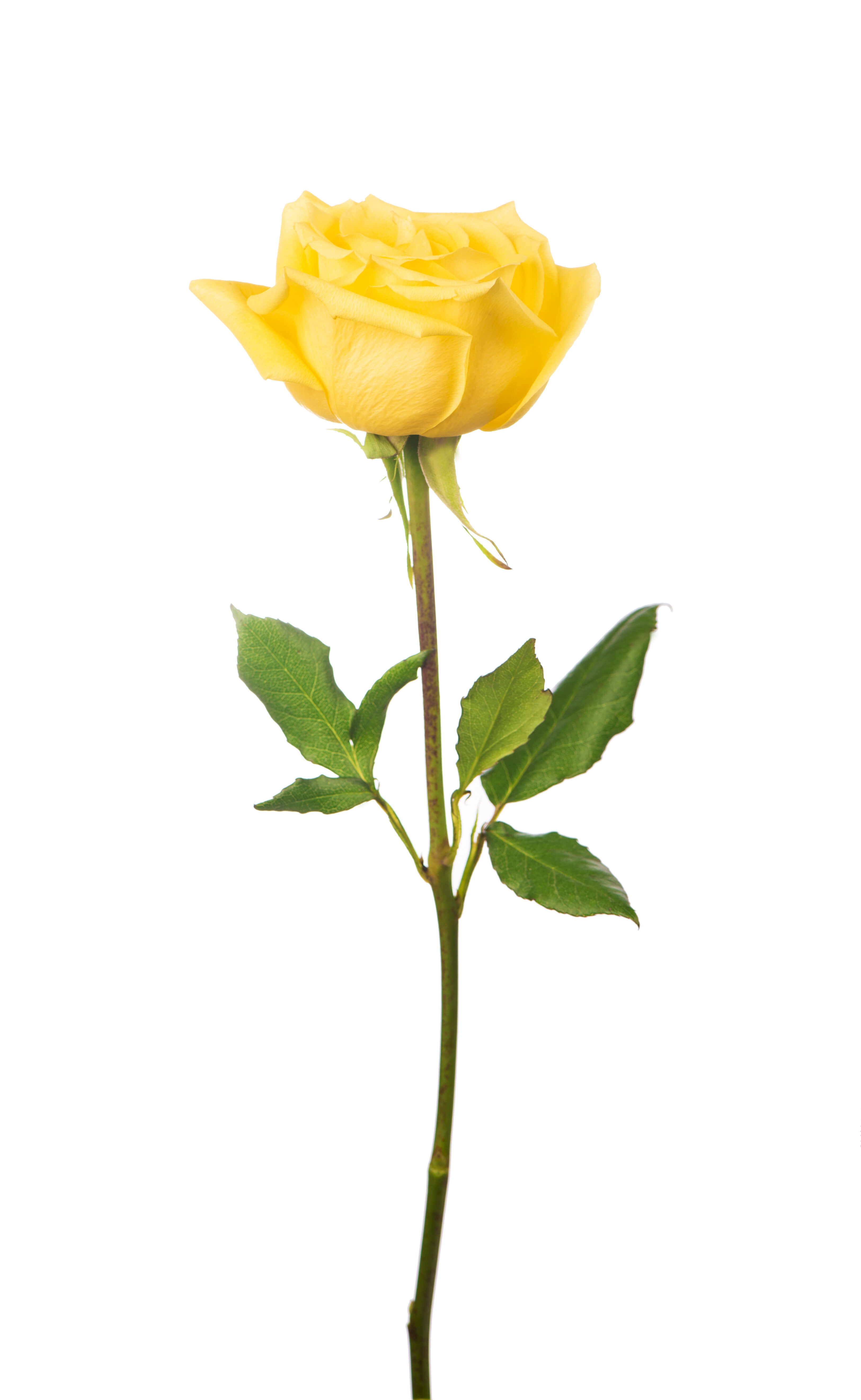 Ultimate yellow rose meaning symbolism guide goldflorist single yellow rose meaningeg mightylinksfo